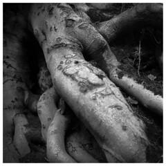 Tree Roots. Rolleicord V/Ilford HP5+. (Tony Joness) Tags: analogue analog bw bnw blackandwhite blackwhite develop developer darktable epson epsonscanner fomafix germancamera hp5plus hp5 ilford ilfordhp5plus monochrome mono mediumformat rodinal rollfilm rolleicordv scanner scan square tlr twinlensreflex uk v550 6x6 yorkshire 120 120filmcamera tree roots