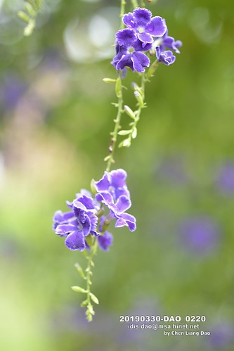 20190330-DAO_0220 一串串藍紫色的蕾絲金露花,金露花,花