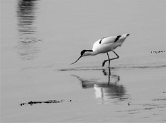 Avocet - Feeding Time - Cresswell Ponds (Gilli8888) Tags: nikon p900 nature wetlands northumberland birds northeast water cresswell cresswellponds avocet wader blackandwhite reflection reflectionsonwater feeding waterbirds