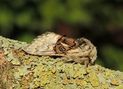 Nut-tree Tussock (Colocasia coryli) (Rezamink) Tags: nuttreetussock colocasiacoryli moths uk