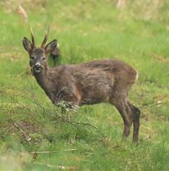 Roe Deer Stag - Thornley Woods (Gilli8888) Tags: olympus e450 dslr thornleywood thornleyhide tyneandwear nature stag deer roedeer mammal northeast