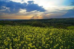 sunset in a farm (meren34) Tags: flower farm horizon sky sunset cloud yellow spring nature