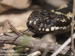 Adder-23 (Neil Phillips) Tags: reptilia vipera viperaberus adder berus reptile snake venomous viper