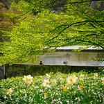 Zwei Enten genießen die Frühlingssonne / Two ducks enjoying the spring sun thumbnail