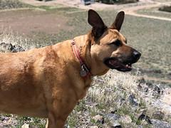 Bella (simonov) Tags: sugarloaf peak spanishspings washoe county hiking spring bella dog hund chien 狗 σκύλοσ madra cane 犬 perro 개 سگ собака الكلب germansheprador