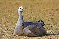 Cape Barren Goose ! (Uhlenhorst) Tags: 2010 australia australien animals tiere birds vögel travel reisen coth coth5