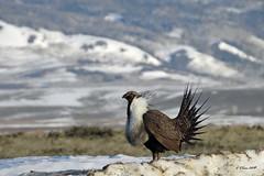 DSCN4028 sage grouse (starc283) Tags: starc283 nature natures finest watcher bird birding birds flickr flicker wildlife lek sage grouse