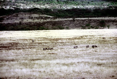 77-260 (ndpa / s. lundeen, archivist) Tags: nick dewolf color photograph photographbynickdewolf 1976 1970s film 35mm 77 reel77 africa northernafrica northeastafrica african ethiopia ethiopian centralethiopia southwesternethiopia grass grassy landscape terrain animals zebras grevyszebras zebra animal grevyszebra grévyszebra grévys southernethiopia