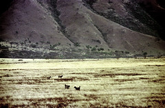 77-257 (ndpa / s. lundeen, archivist) Tags: nick dewolf color photograph photographbynickdewolf 1976 1970s film 35mm 77 reel77 africa northernafrica northeastafrica african ethiopia ethiopian centralethiopia southwesternethiopia grass grassy landscape terrain animals zebras grevyszebras zebra animal grevyszebra grévyszebra grévys southernethiopia