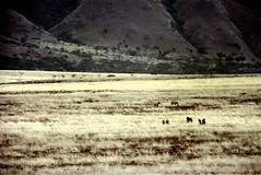 77-255 (ndpa / s. lundeen, archivist) Tags: nick dewolf color photograph photographbynickdewolf 1976 1970s film 35mm 77 reel77 africa northernafrica northeastafrica african ethiopia ethiopian centralethiopia southwesternethiopia grass grassy landscape terrain animals zebras grevyszebras zebra animal grevyszebra grévyszebra grévys southernethiopia
