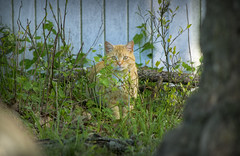 Hide and Seek I (Alexander Day) Tags: cat cats feline felines mammal mammals animal animals piscataway new jersey stray vignette alex alexander day