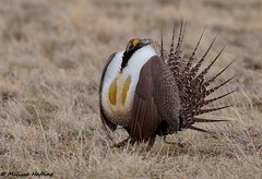 Greater Sage-Grouse (Centrocercus urophasianus) - Colorado (bcbirdergirl) Tags: greatersagegrouse colorado co usa centrocercusurophasianus sagegrouse display displaying courtship mating matingritual lek lekking gamebird birdsofcolorado
