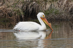 American White Pelican with Yellow Plate on Bill During Breeding Season (nature80020) Tags: pelican americanwhitepelican breeding plate bill bird nature wildlife metzgerfarmopenspace colorado