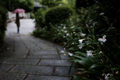 20190430X100f_3543 (Gansan00) Tags: fujifilm x100f fujifilmxseries japan yamaguchi ブラリ旅 山口県 snaps 4月 hofu 防府市 阿弥陀寺 新緑 green rain