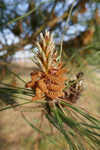 La fleur du pin maritime, Jane de Boy, presqu'île du Cap Ferret, Bassin d'Arcachon, Gironde, Aquitaine, France.