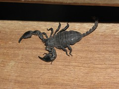 Black scorpion (Bruja Camilla) Tags: scorpion animals wildlife