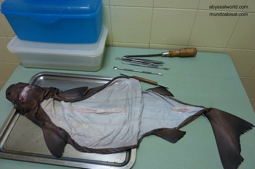 Taxidermia de tiburón abisal Somniosus. Sleeper shark taxidermy