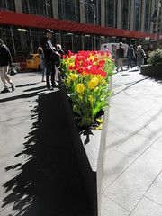 Spring Flowers Yellow and Red Tulips Wedge Shaped Planter 6901 (Brechtbug) Tags: spring flowers yellow red tulips springtime floral display wedge shaped sidewalk planter 50th street looking towards sixth avenue 6th ave nyc 2019 new york city 04242019 flower happy post easter holiday