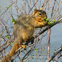 Springtime Snack (Colorado Sands) Tags: treesquirrel wildanimals animal lakewood colorado jeffersoncounty usa sandraleidholdt squirrel eating feeding springtime wild wildlife coloradowildlife
