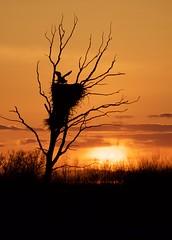 The Eagle Has Landed (finlander13) Tags: birdsofminnesota minnesota minnesotawildlife nature baldeagle baldeagles eagle eaglesnest sherburnenationalwildliferefuge nationalwildliferefuge exploremn exploreminnesota birdsofprey exploresherburne