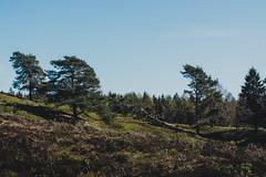 over the hills   l   2019 (weddelbrooklyn) Tags: natur landschaft heidelandschaft baum bäume wandern hügel frühling schleswigholstein nikon d5200 treckingtour hiking nature landscapes germany northerngermany tree trees moorland hills spring