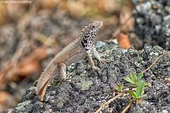 Leiocephalus lunatus lewisi (juan.sangiovanni) Tags: leiocephalus lunatus santo domingo curlytail lizard lagarto cola rizada