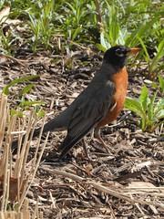 Lombard, IL, Lilacia Park, Robin (Mary Warren 13.6+ Million Views) Tags: lombardil lilaciapark spring garden flora plant park nature fauna bird robin coth5