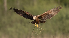 Marsh harrier (JS_71) Tags: nature wildlife nikon photography outdoor 500mm bird new spring see natur pose moment outside animal flickr colour poland sunshine beak feather nikkor d500 wildbirds planet global national wing eye watcher