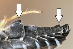 Bembix merceti male sternites 2 & 6 (Juan Briantspuddle) Tags: bembixmerceti crabronidae bembicini sternites