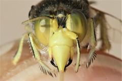 Bembix merceti male face (Juan Briantspuddle) Tags: bembixmerceti crabronidae bembicini
