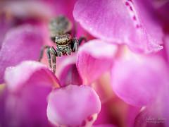 Piège de pétales (Fabien Serres) Tags: arachnide araignée orchidée orchismascula saltique végétal araignéesauteuse orchismâle salticidae