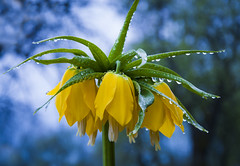 Kaiserkrone (Mariandl48) Tags: kaiserkrone sommersgut wenigzell austria