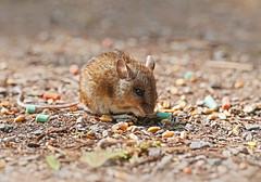 Wood Mouse - Michael Bird (Just call me Doc) Tags: woodmouse mice mouse apodemussylvaticus attenboroughnaturereserve attenborough nottingham michaelbird macro canon 6d 100mm l rodent