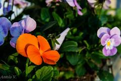 Macro2 (vilianttila90) Tags: nikon sigma d7100 1770 28 nature light macro flower