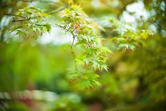 Spring Foliage (moaan) Tags: tanba hyogo japan momiji japanesemaple green greenleaves springtime newera 1thofmay 令和 focusonforeground selectivefocus bokeh bokehphotography dof leica leicamp type240 noctilux 50mm f10 noctilux50mmf10 leicanoctilux50mmf10 utata 2019