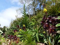 P1190097 (jrcollman) Tags: gardens places plants aplant aeonium aeoniumzwartkop eplant echium trebahgardennttrust