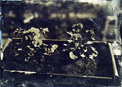 violet for the summer (Sonofsono) Tags: violet flowers wet plate glass fkd ambrotype black bw white