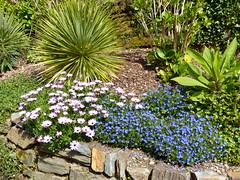 P1190101 (jrcollman) Tags: gardens lithospermumdiffusumheavenlyblue places plants oplant eplant echium trebahgardennttrust lplant osteospermum