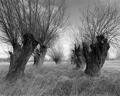 Willows (fotoswietokrzyskie) Tags: mamiya mamiyarz67 blackandwhite willows scan film medium format 6x7 monochrome tree ilford delta400 sekor 65mm ddx landscapes trees grass