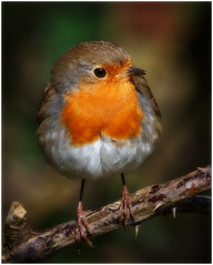 Friendly Robin (tina777) Tags: robin robinredbreast bird animal nature wildlife naturalworld canon canon7d wildlifephotography forest farm forestfarm cardiff wales ononesoftware