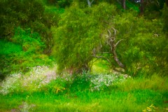 All The World's A Sunny Day (Christina's World!) Tags: landscape green grasses trees flowers brightcolors painterly california colorful colors digitalart delmar exotic exhibitionoftalent garden impressionism impressionistic light mood nature neighborhood naturallight outdoors plants painting romantic sandiego scenic textures unitedstates usa vegetation view vividcolors exquisiteimagery exquisitepaintography topaz