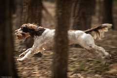 Speeding Springer (mjsearle121) Tags: horsellcommon marley matthew searle mjsearle121 nikon d750 nikkor70300mm 70300mm woking dog springer spaniel k9 canine running leaping woods forest sprint playing