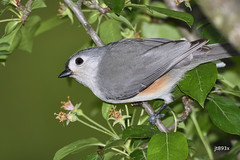 Tufted Titmouse (jt893x) Tags: 150600mm baeolophusbicolor bird d500 jt893x nikon nikond500 sigma sigma150600mmf563dgoshsms songbird titmouse tuftedtitmouse coth thesunshinegroup alittlebeauty coth5