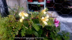 Seedling rose with flowers spoilt by winds on balcony 29th April 2019 (D@viD_2.011) Tags: seedling rose with flowers spoilt by winds balcony 29th april 2019