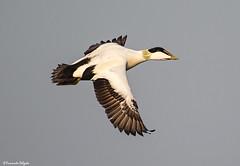 Eider ♂ (Somateria mollissima) (Fernando Delgado) Tags: eider pato ducks wildlife isleofmay scotland aves birds birdwatching birdphotographing birdsinflight birdlife