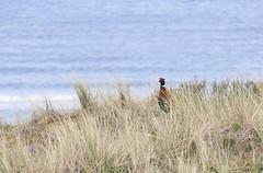 "Guarding the dunes (evakatharina12) Tags: pheasant bird animal dunes sea ""north sea"" frisia ""east frisia"" juist island isle sand"