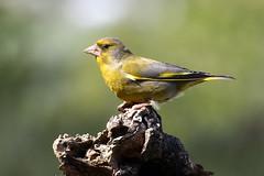 Verdone - Chloris chloris (francescociccotti1) Tags: verdone uccello passeriforme verde giallo
