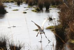 Surprise ice landing (arripay) Tags: arne rspbarne ice frozen winter poole harbour dorset bird birds spoonbill
