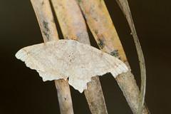 Geometrid Moth (Geometridae) (Mary Keim) Tags: taxonomy:family=geometridae centralflorida marykeim lakeproctorwildernessarea