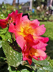 Rose (Claire_B21) Tags: rose flowers flower colors beautiful sun spring garden naturephotography nature huawei p20pro huaweip20pro photography naturelove love italy rome roma roses beauty frasi